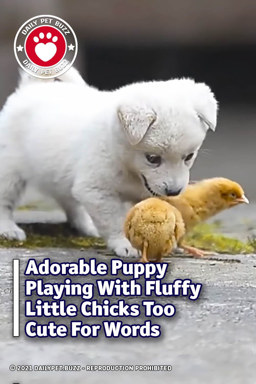 Adorable Puppy Playing With Fluffy Little Chicks Too Cute For Words