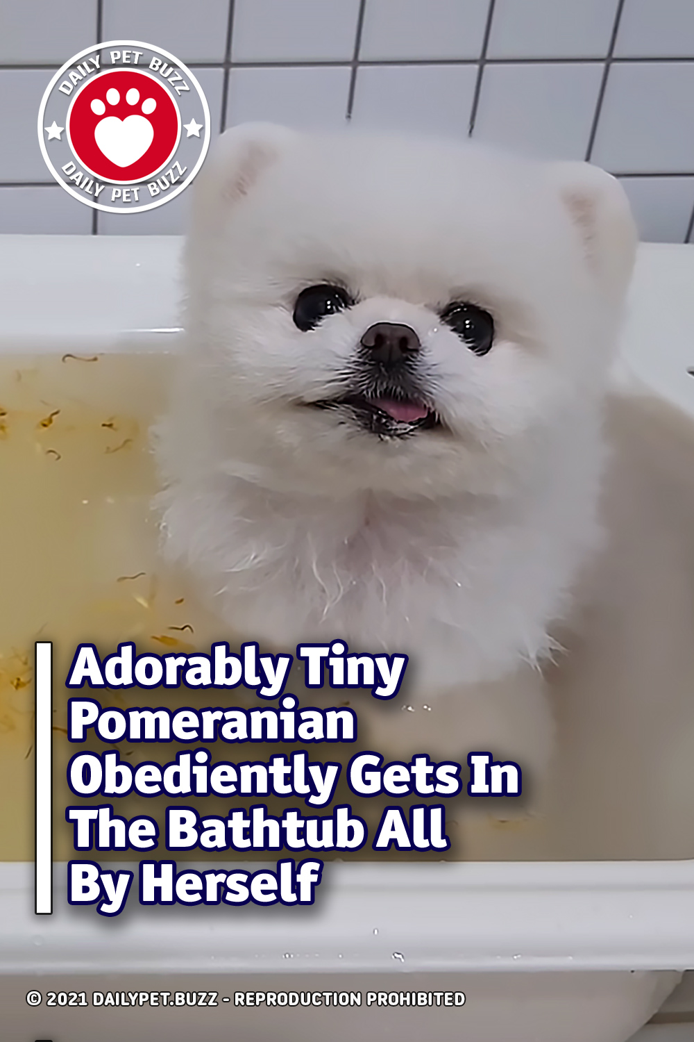 Adorably Tiny Pomeranian Obediently Gets In The Bathtub All By Herself