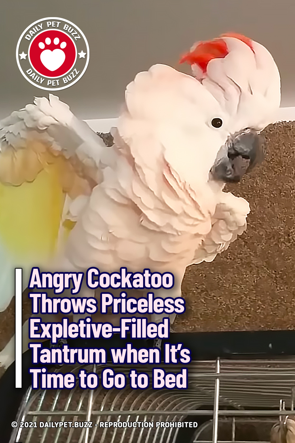 Angry Cockatoo Throws Priceless Expletive-Filled Tantrum when It\'s Time to Go to Bed