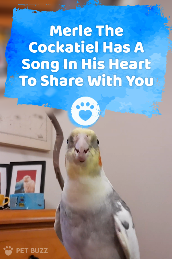 Merle The Cockatiel Has A Song In His Heart To Share With You