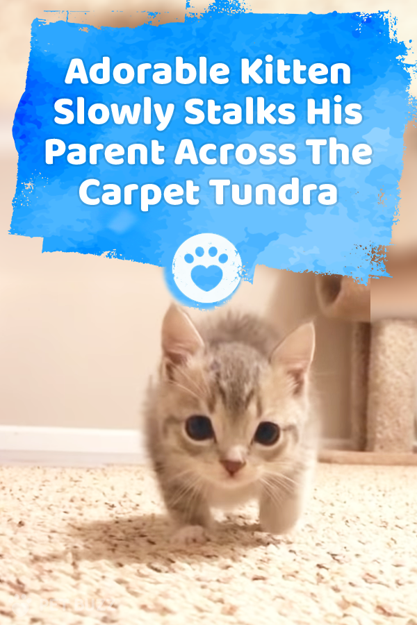 Adorable Kitten Slowly Stalks His Parent Across The Carpet Tundra