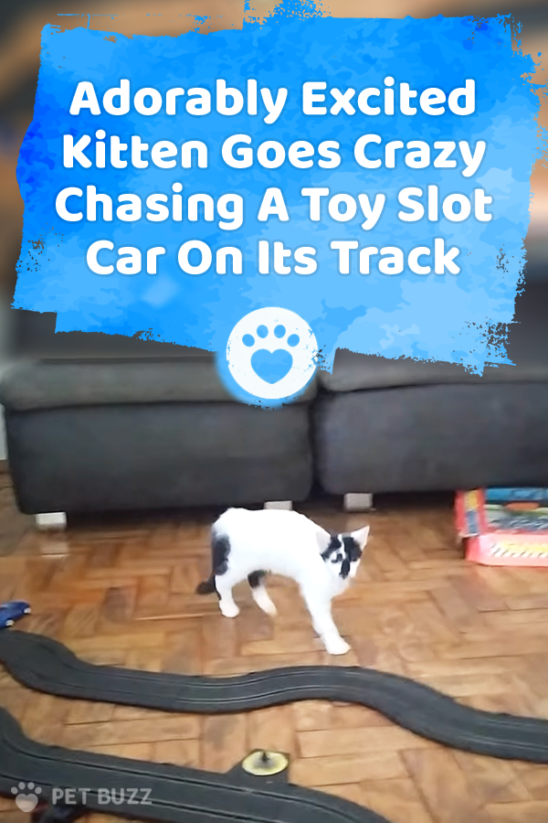 Adorably Excited Kitten Goes Crazy Chasing A Toy Slot Car On Its Track