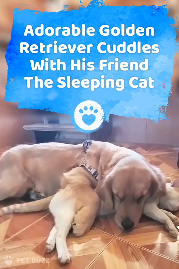 Adorable Golden Retriever Cuddles With His Friend The Sleeping Cat