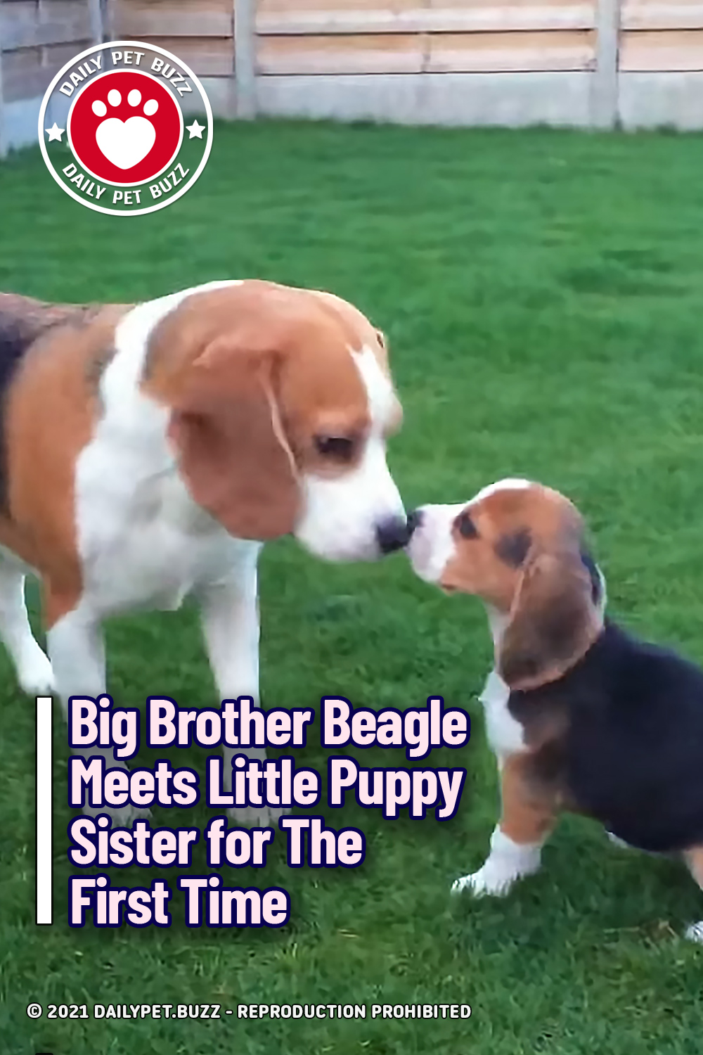 Big Brother Beagle Meets Little Puppy Sister for The First Time
