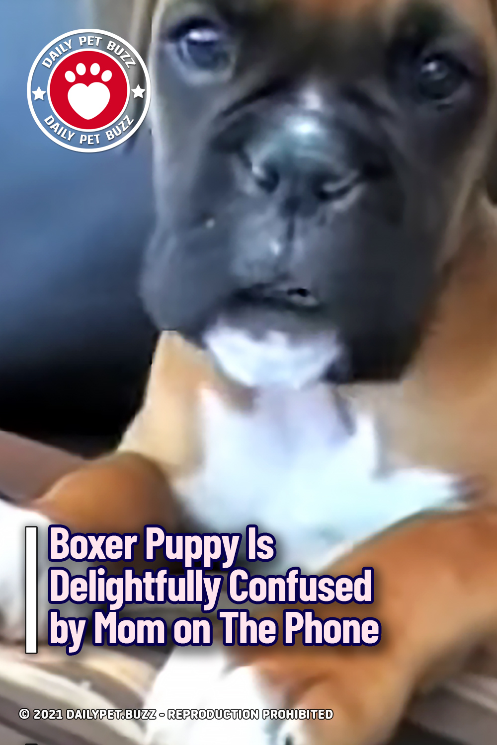 Boxer Puppy Is Delightfully Confused by Mom on The Phone