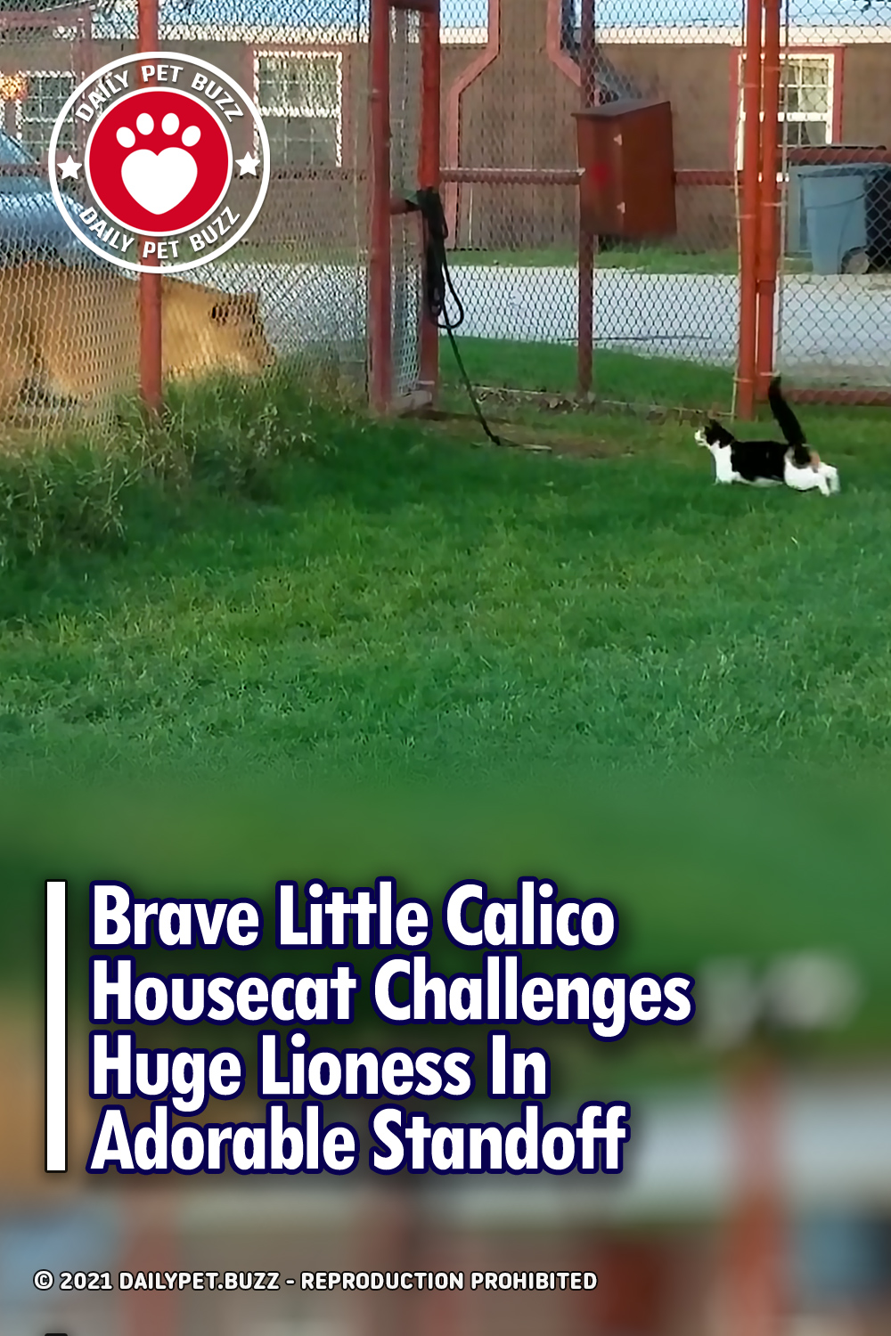 Brave Little Calico Housecat Challenges Huge Lioness In Adorable Standoff