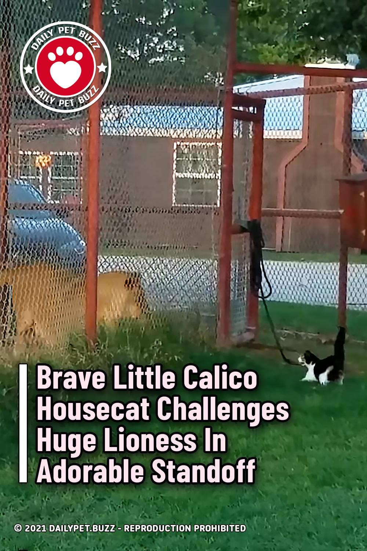 Brave Little Calico Housecat Challenges Huge Lioness In Adorable Standoff