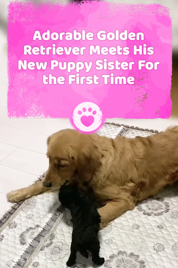 Adorable Golden Retriever Meets His New Puppy Sister For the First Time