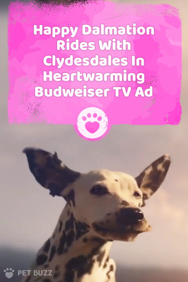 Happy Dalmation Rides With Clydesdales In Heartwarming Budweiser TV Ad