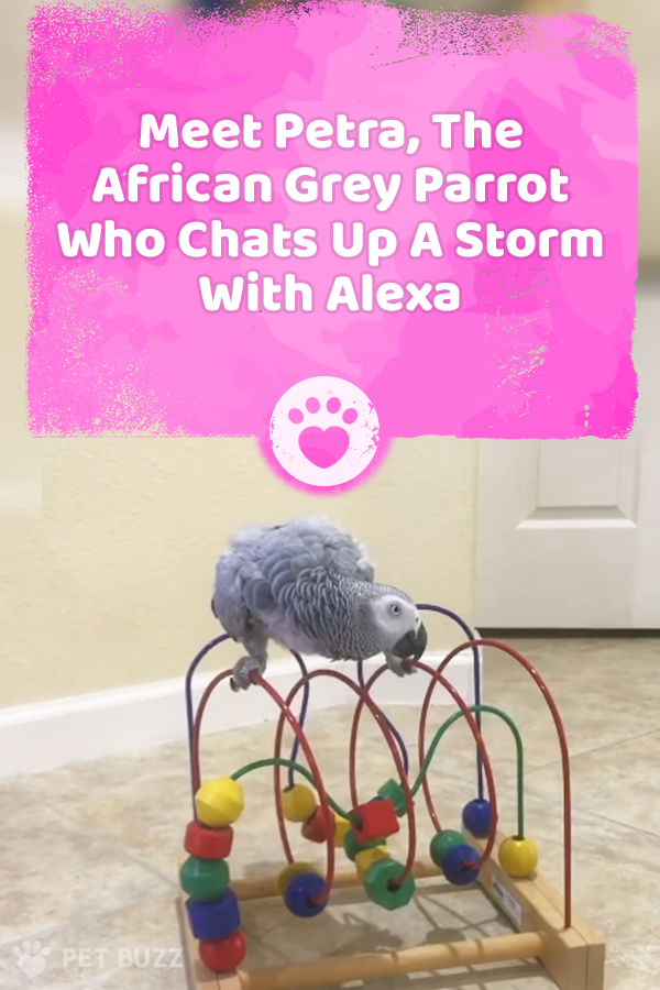 Meet Petra, The African Grey Parrot Who Chats Up A Storm With Alexa
