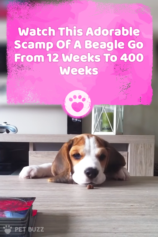 Watch This Adorable Scamp Of A Beagle Go From 12 Weeks To 400 Weeks