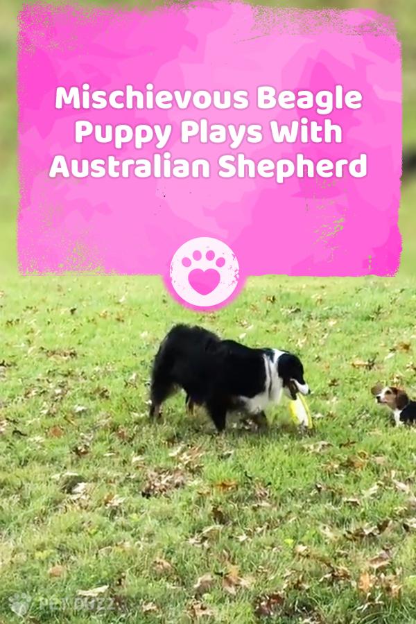 Mischievous Beagle Puppy Plays With Australian Shepherd