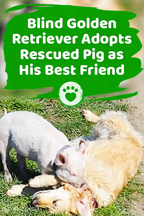 Blind Golden Retriever Adopts Rescued Pig as His Best Friend