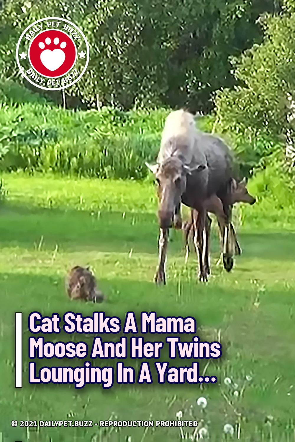 Cat Stalks A Mama Moose And Her Twins Lounging In A Yard...