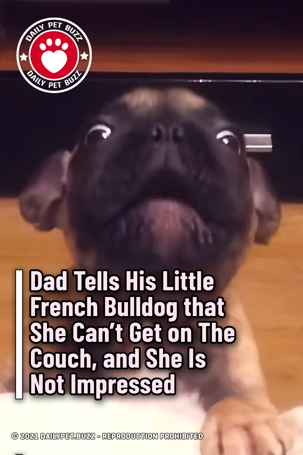 Dad Tells His Little French Bulldog that She Can\'t Get on The Couch, and She Is Not Impressed