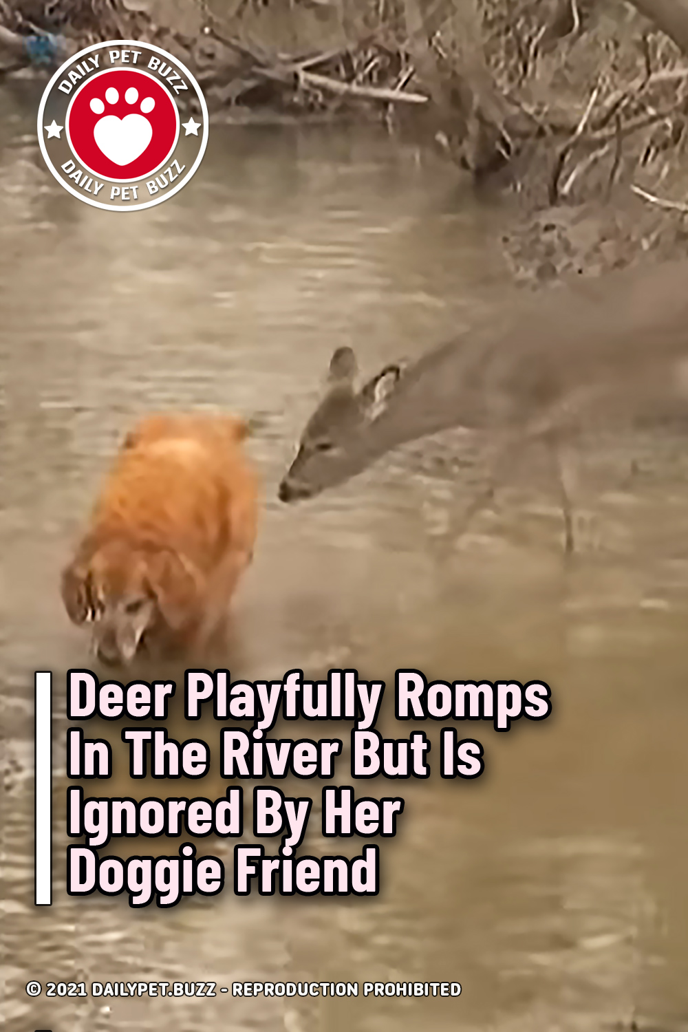 Deer Playfully Romps In The River But Is Ignored By Her Doggie Friend