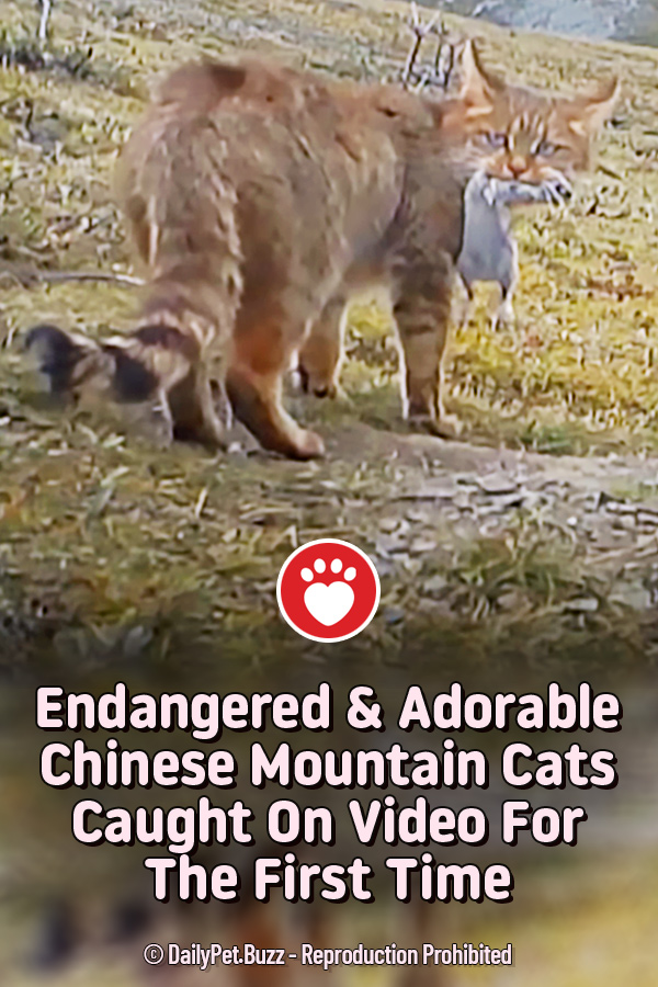 Endangered & Adorable Chinese Mountain Cats Caught On Video For The First Time