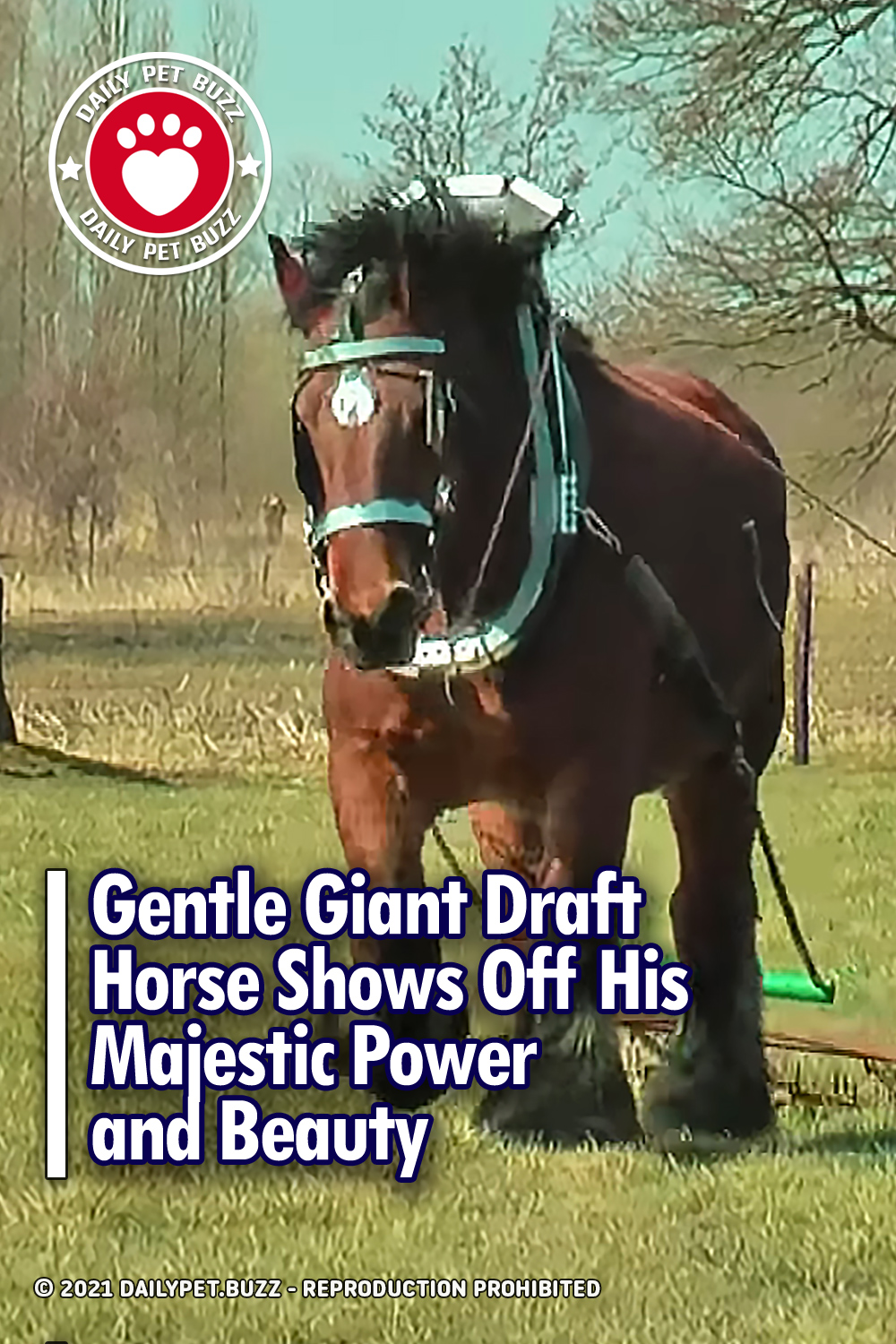 Gentle Giant Draft Horse Shows Off His Majestic Power and Beauty