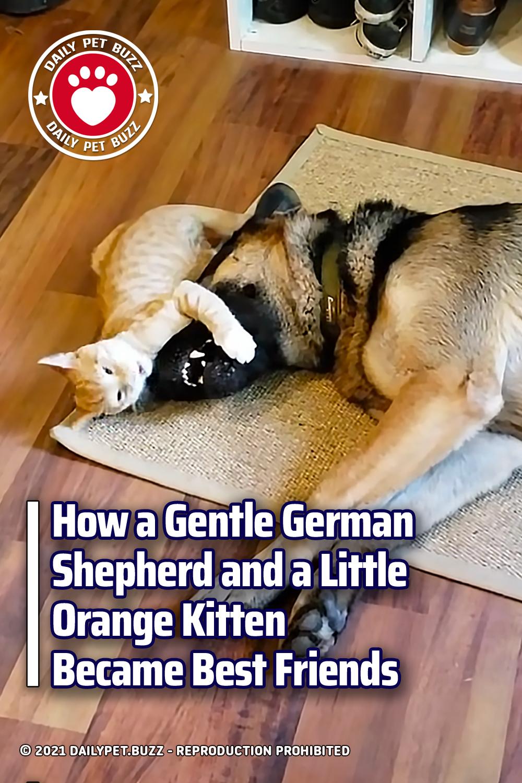 How a Gentle German Shepherd and a Little Orange Kitten Became Best Friends