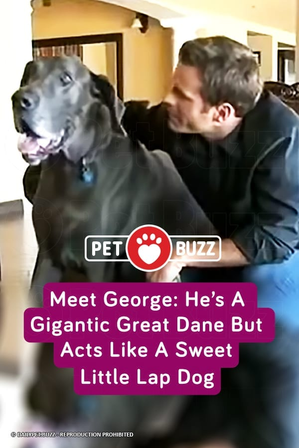 Meet George: He\'s A Gigantic Great Dane But Acts Like A Sweet Little Lap Dog