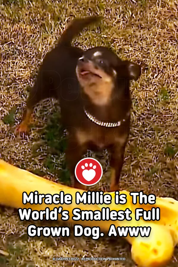Miracle Millie is The World\'s Smallest Full Grown Dog. Awww