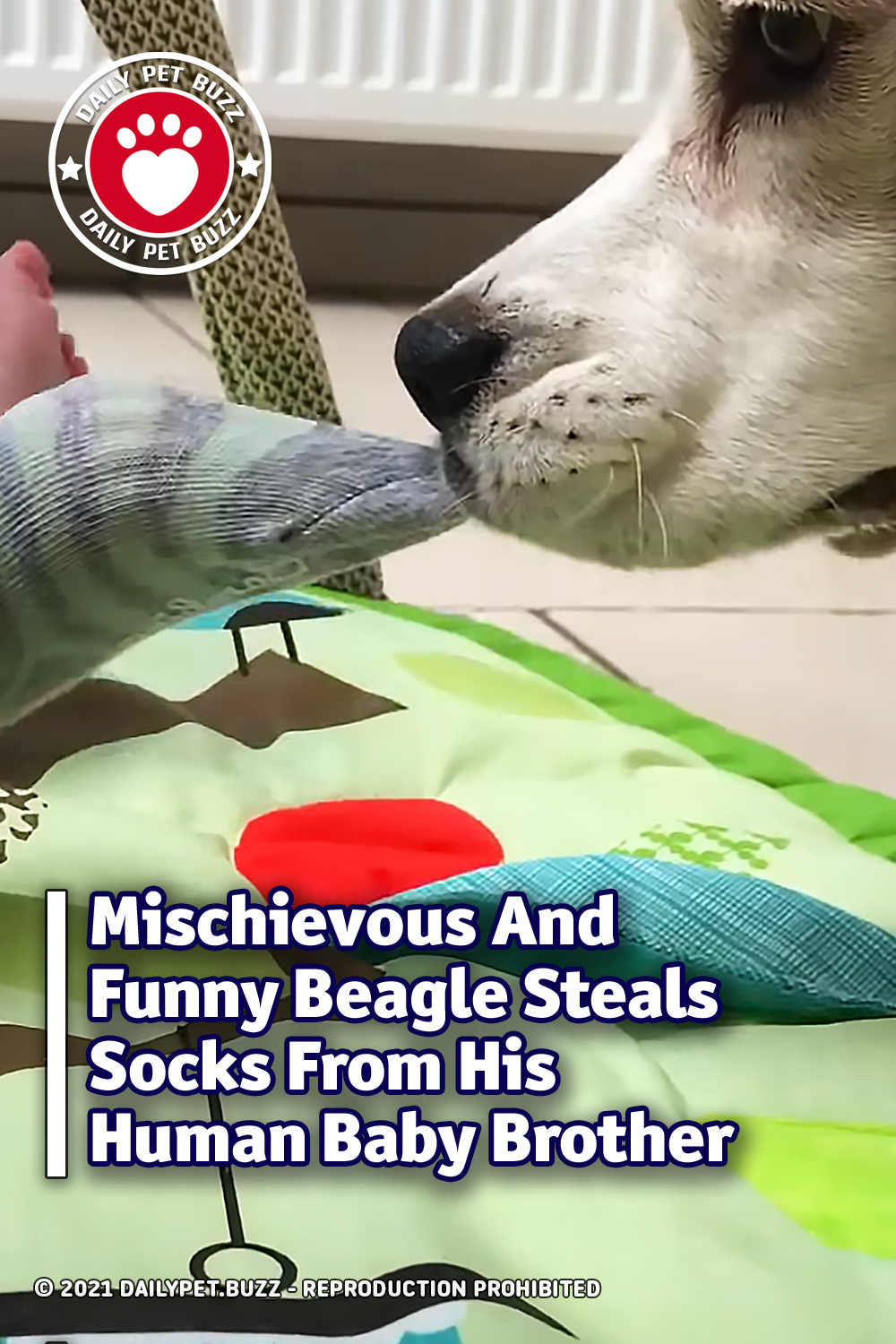 Mischievous And Funny Beagle Steals Socks From His Human Baby Brother