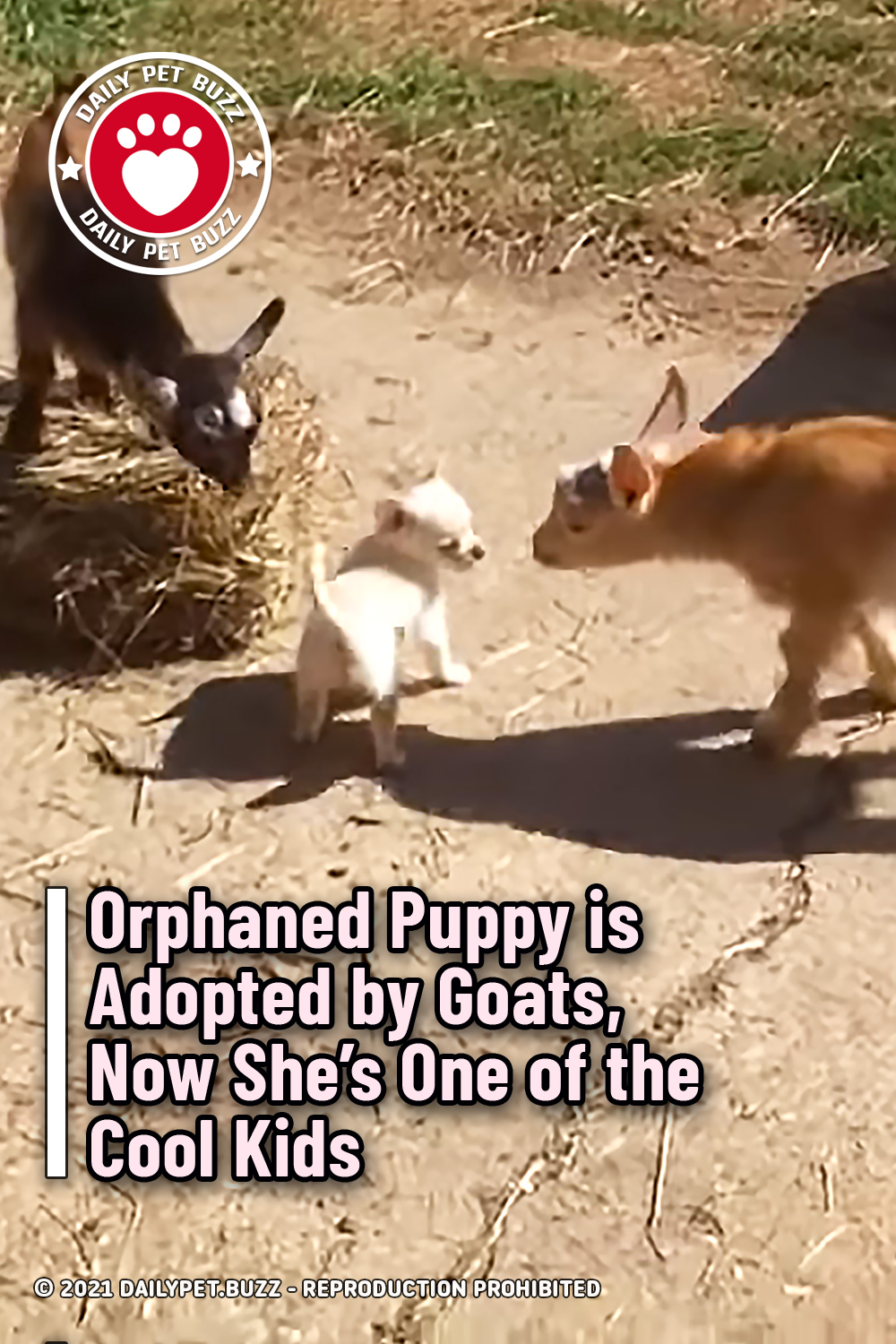 Orphaned Puppy is Adopted by Goats, Now She\'s One of the Cool Kids