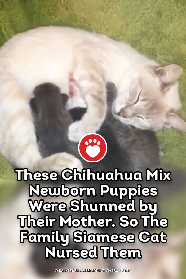 These Chihuahua Mix Newborn Puppies Were Shunned by Their Mother. So The Family Siamese Cat Nursed Them
