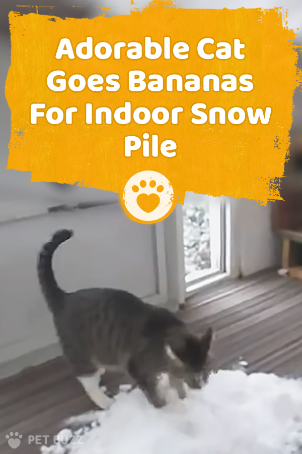 Adorable Cat Goes Bananas For Indoor Snow Pile