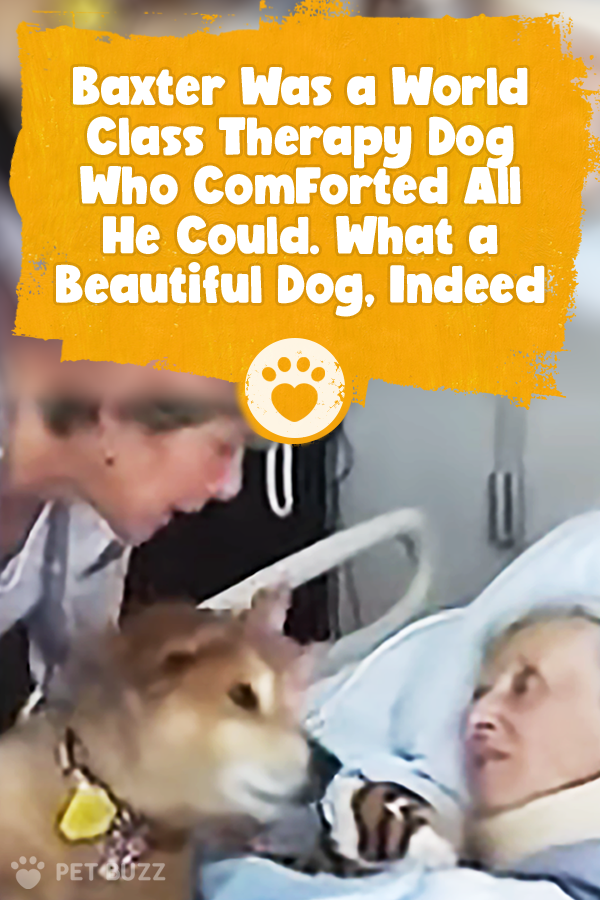 Baxter Was a World Class Therapy Dog Who Comforted All He Could. What a Beautiful Dog, Indeed