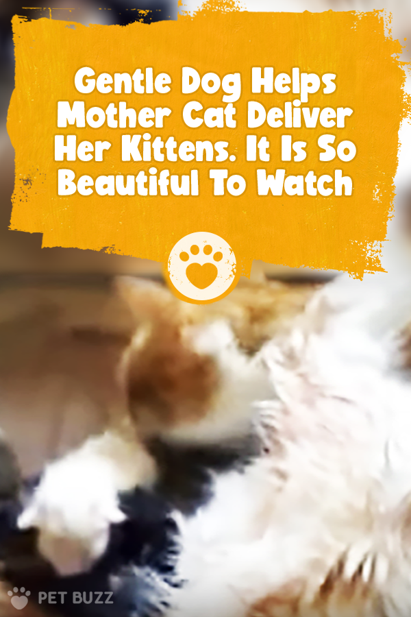 Gentle Dog Helps Mother Cat Deliver Her Kittens. It Is So Beautiful To Watch