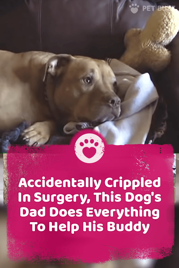 Accidentally Crippled In Surgery, This Dog\'s Dad Does Everything To Help His Buddy
