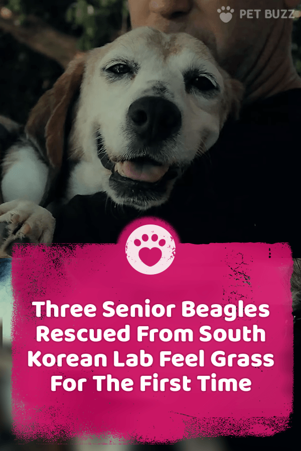 Three Senior Beagles Rescued From South Korean Lab Feel Grass For The First Time