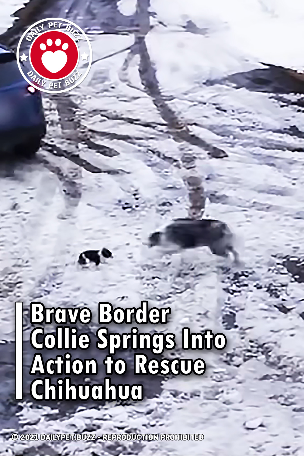Brave Border Collie Springs Into Action to Rescue Chihuahua