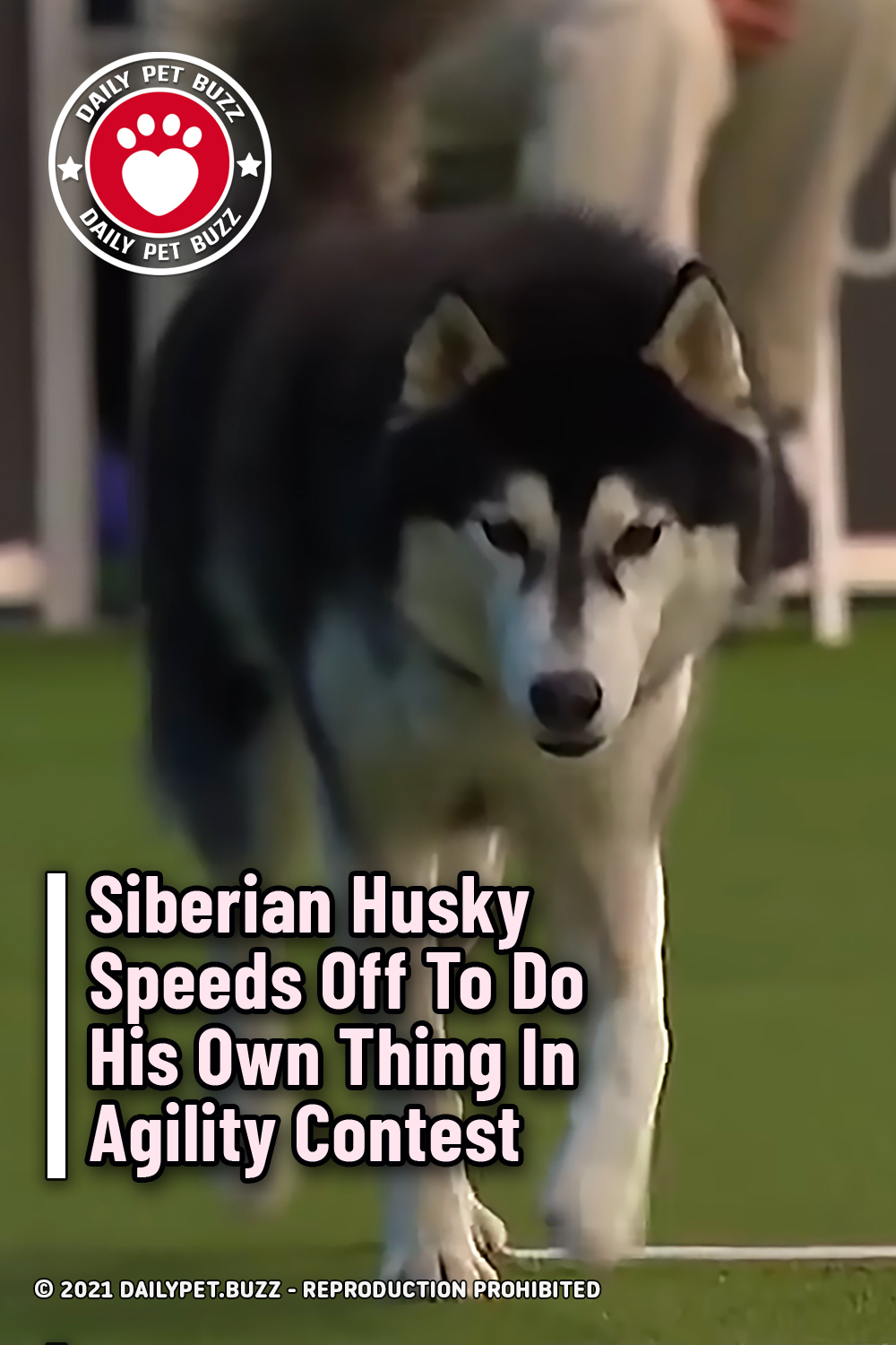 Siberian Husky Speeds Off To Do His Own Thing In Agility Contest