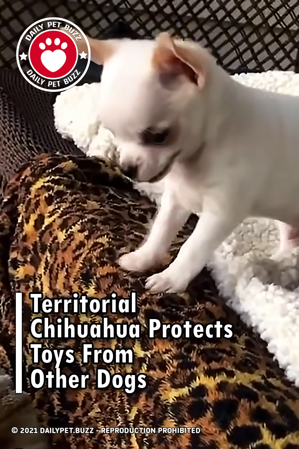 Territorial Chihuahua Protects Toys From Other Dogs