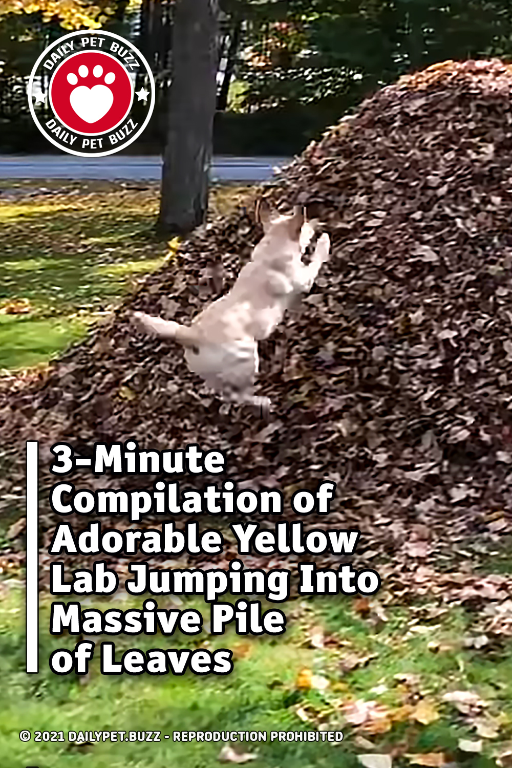 3-Minute Compilation of Adorable Yellow Lab Jumping Into Massive Pile of Leaves