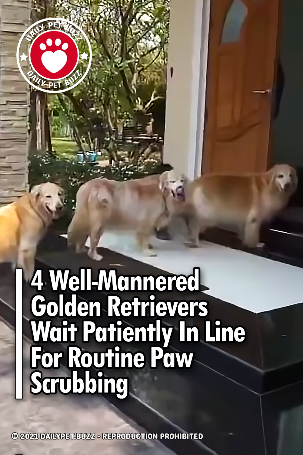 4 Well-Mannered Golden Retrievers Wait Patiently In Line For Routine Paw Scrubbing