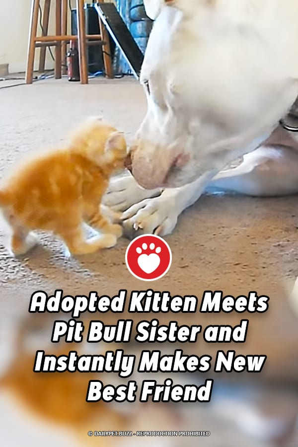 Adopted Kitten Meets Pit Bull Sister and Instantly Makes New Best Friend