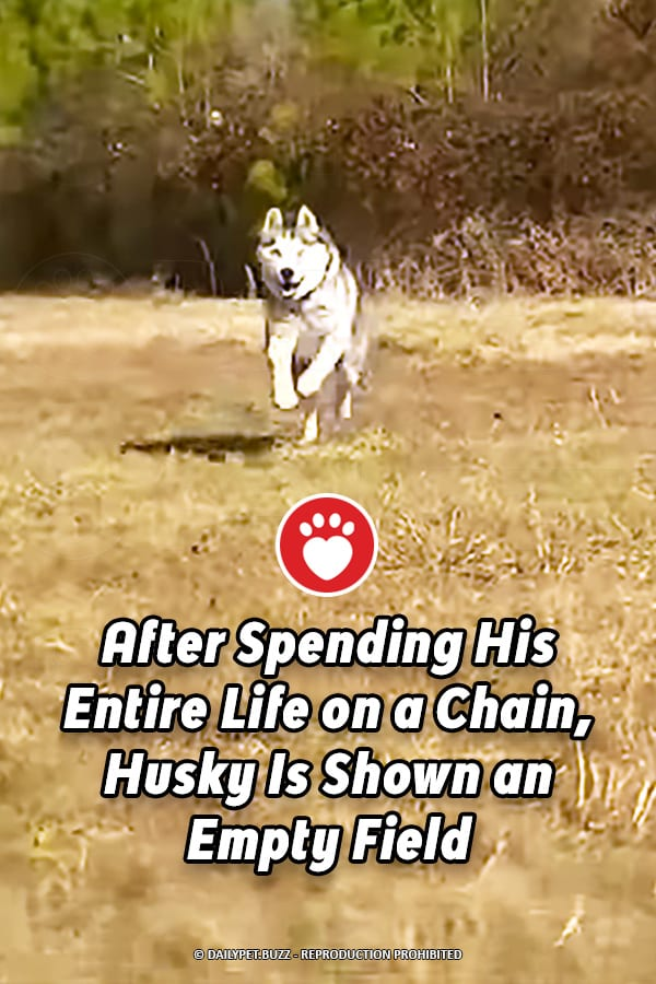 After Spending His Entire Life on a Chain, Husky Is Shown an Empty Field