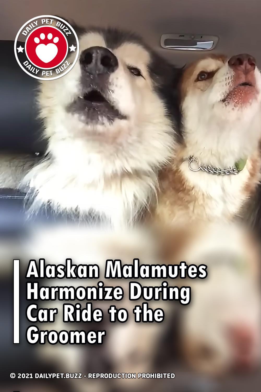 Alaskan Malamutes Harmonize During Car Ride to the Groomer