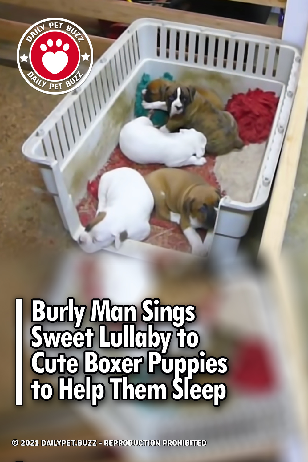 Burly Man Sings Sweet Lullaby to Cute Boxer Puppies to Help Them Sleep