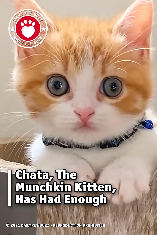 Chata, The Munchkin Kitten, Has Had Enough