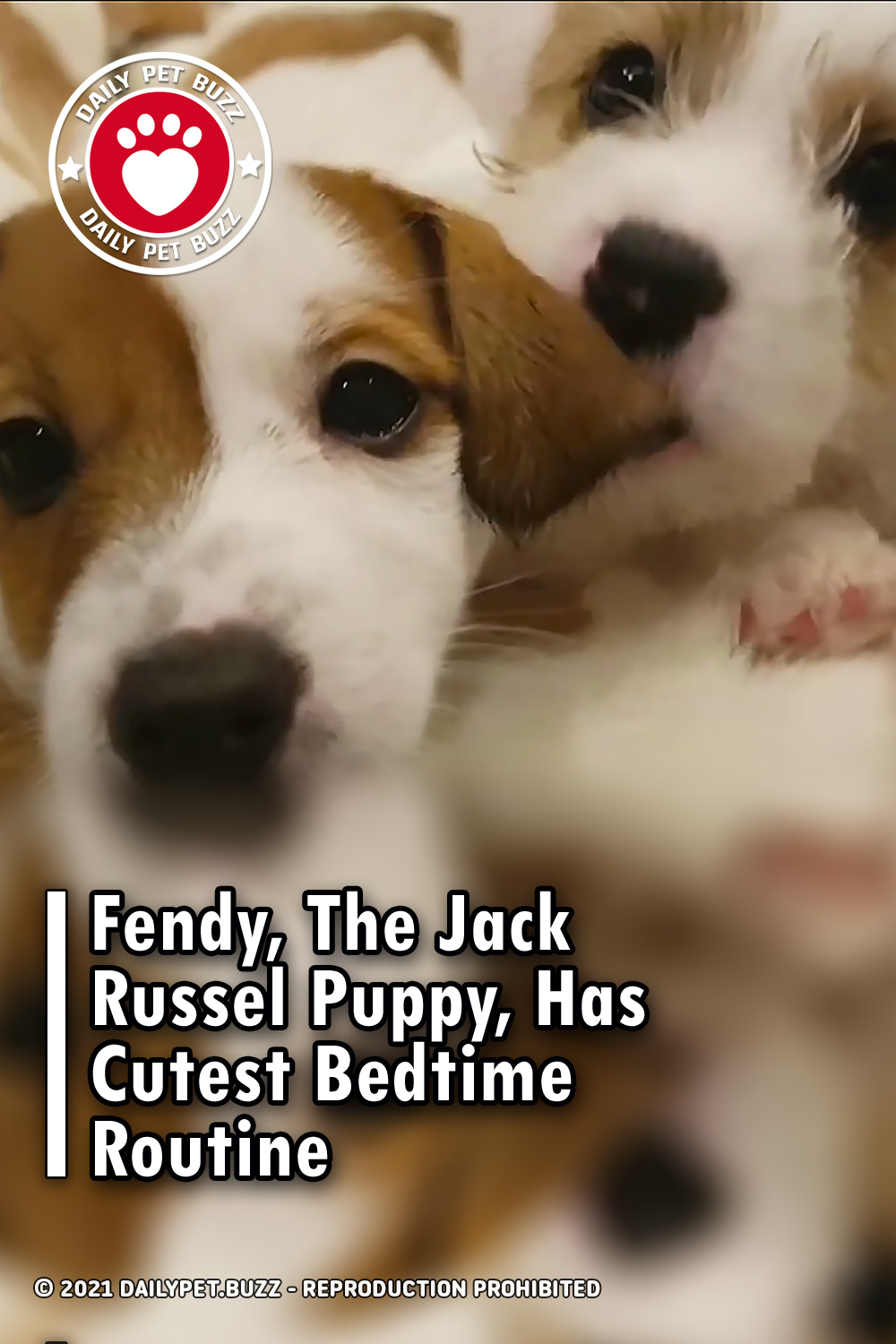 Fendy, The Jack Russel Puppy, Has Cutest Bedtime Routine
