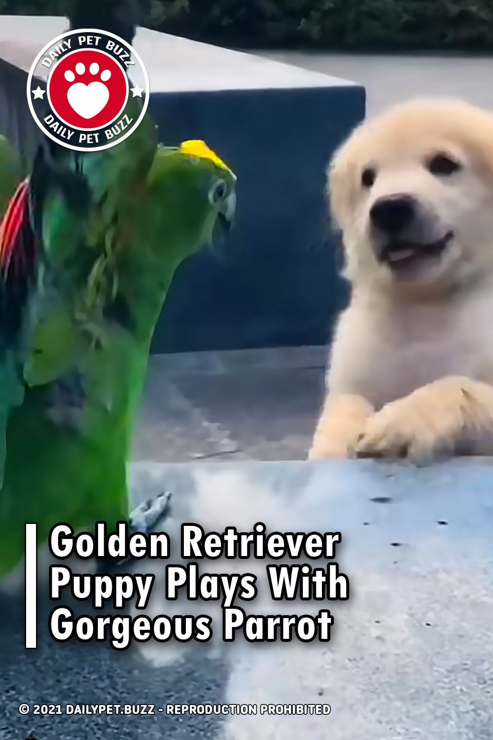 Golden Retriever Puppy Plays With Gorgeous Parrot