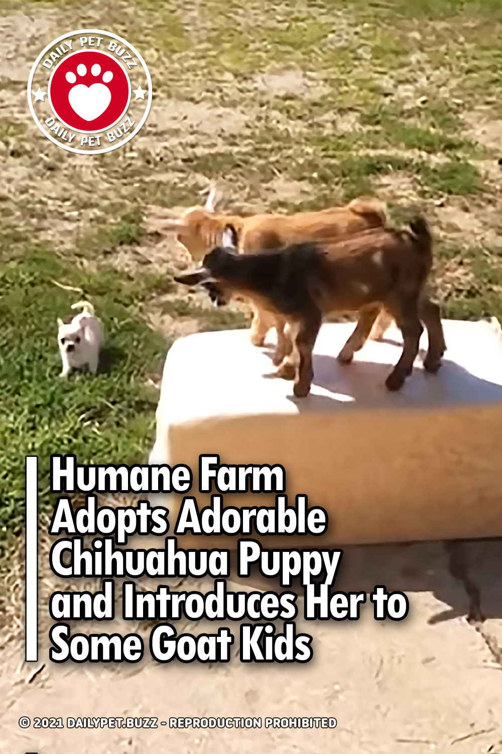 Humane Farm Adopts Adorable Chihuahua Puppy and Introduces Her to Some Goat Kids