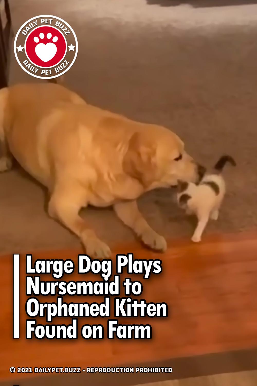 Large Dog Plays Nursemaid to Orphaned Kitten Found on Farm