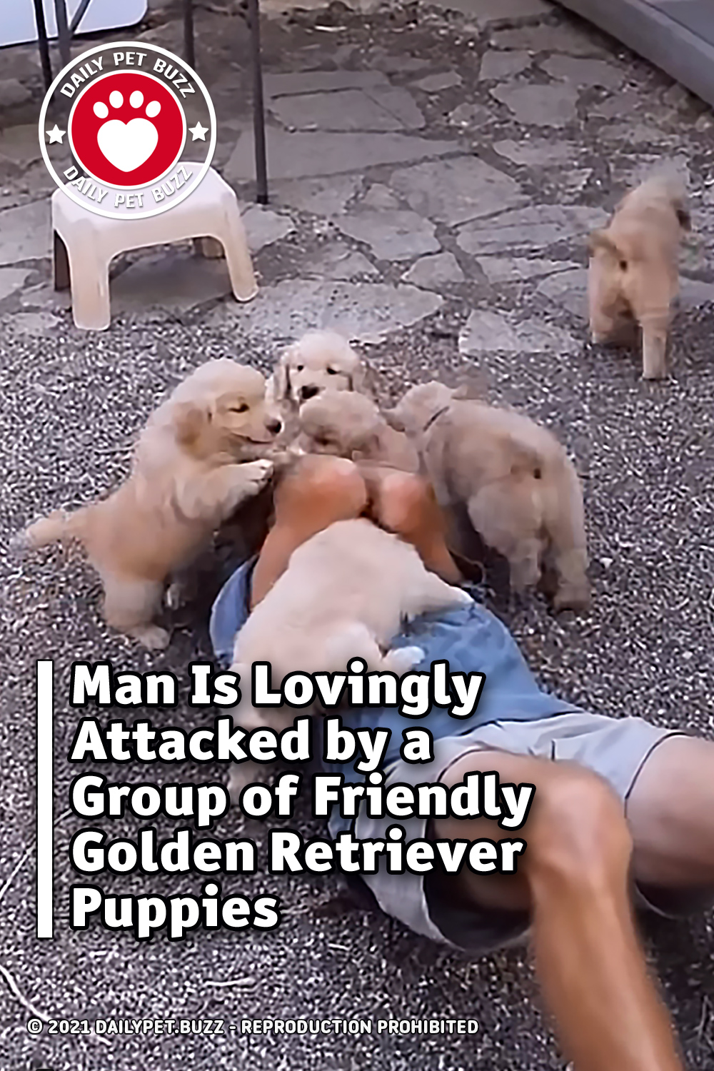 Man Is Lovingly Attacked by a Group of Friendly Golden Retriever Puppies