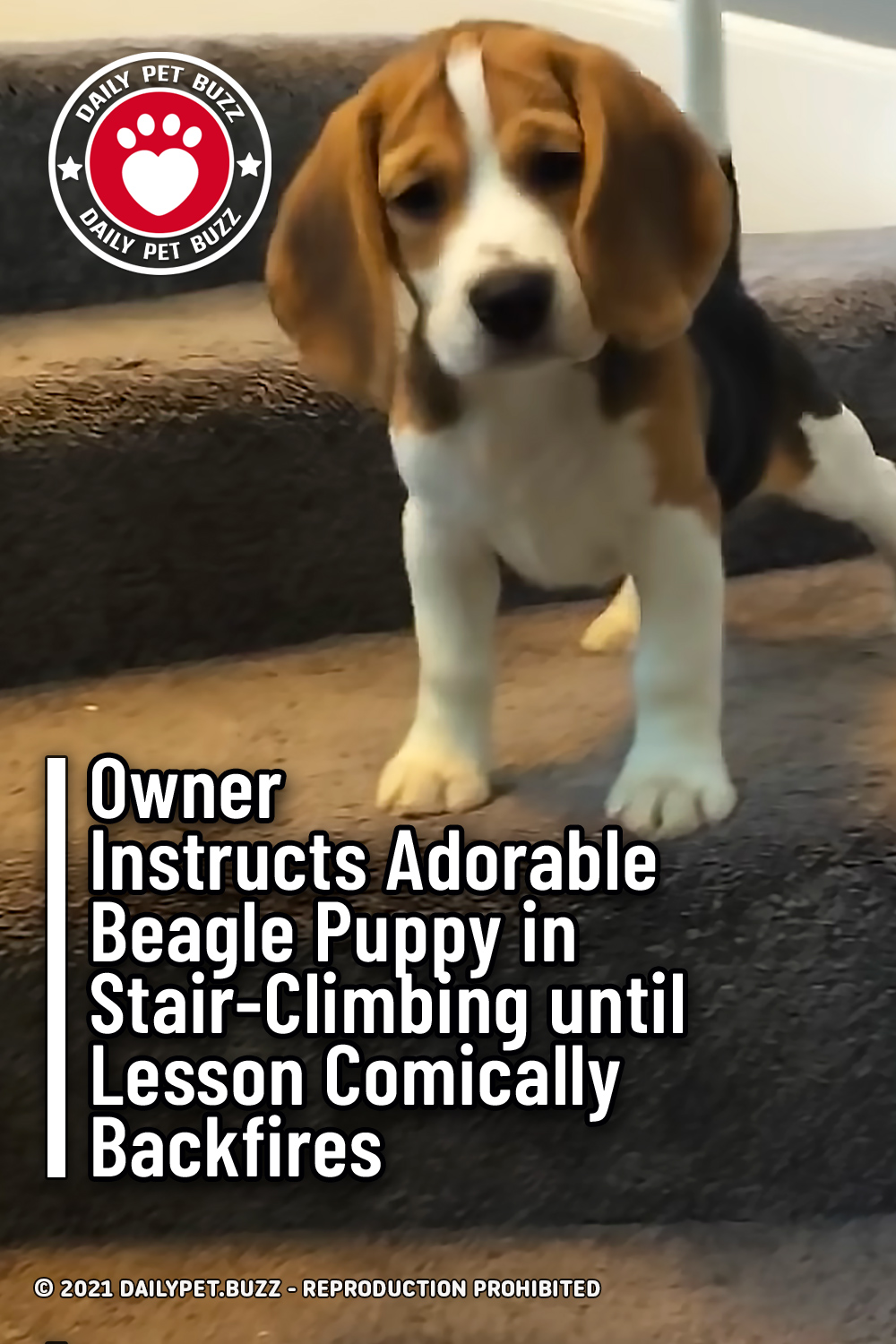 Owner Instructs Adorable Beagle Puppy in Stair-Climbing until Lesson Comically Backfires