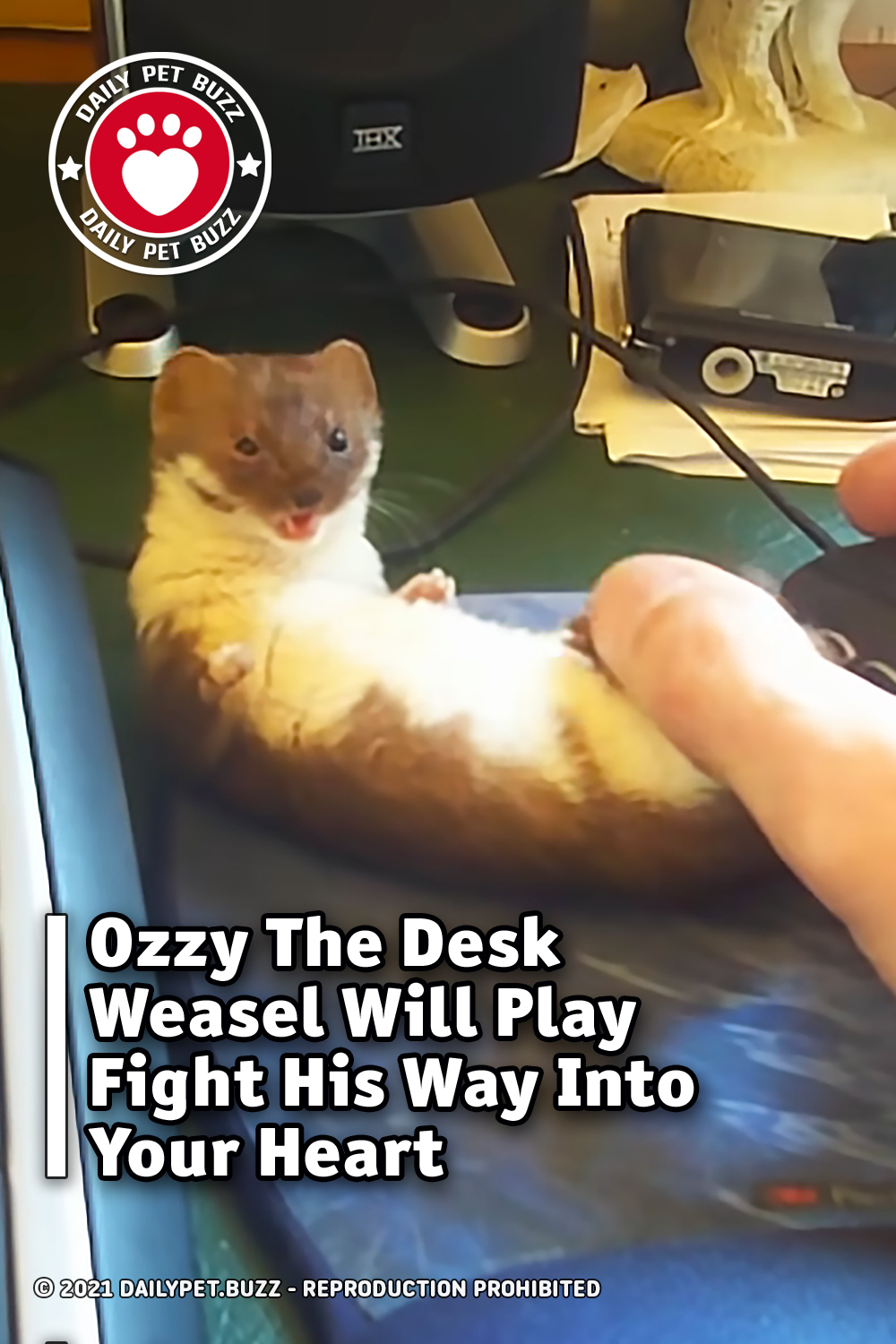 Ozzy The Desk Weasel Will Play Fight His Way Into Your Heart